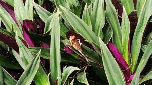 Things To Do In Ipoh - Kek Look Tong (極樂洞) - Garden Lizards Prance around the garden