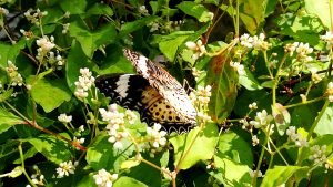 Common Tiger Butterfly sitting and sipping on a flower