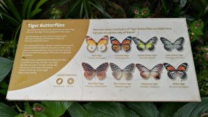 Info about Tiger Butterflies - Large