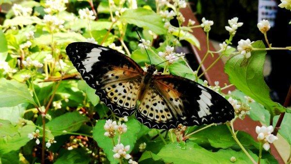 A Lovely Tiger Butterfly