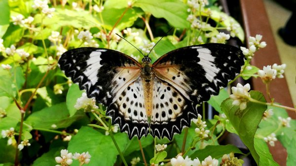 Another Gorgeous Tiger Butterfly