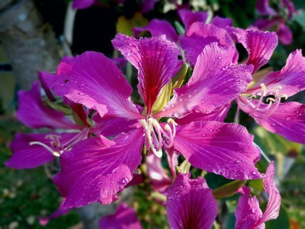 Bauhinia lovely purple pink flower