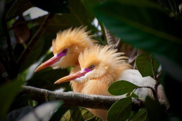 Birds of Petulu, Ubud, Bali, Indonesia